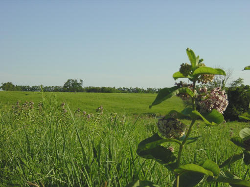 Showy milkweed, and a view across the prairie.