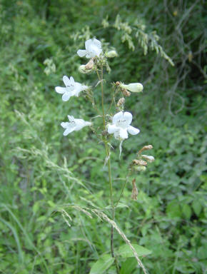 White Penstemon