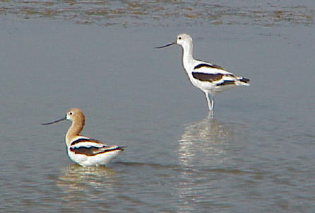 Adult and juvenile avocets.