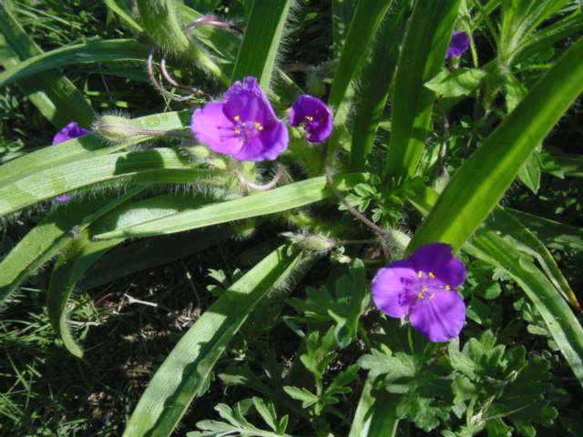 Bracted spiderwort