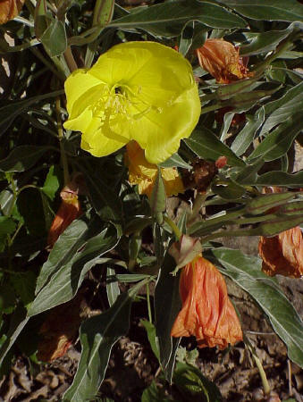 Missouri Evening Primrose